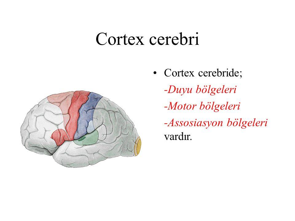 Cortex cerebri Cortex cerebride; -Duyu bölgeleri -Motor bölgeleri
