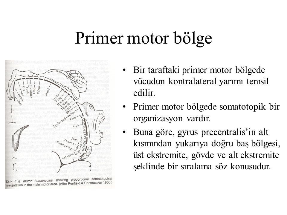 Primer motor bölge Bir taraftaki primer motor bölgede vücudun kontralateral yarımı temsil edilir.