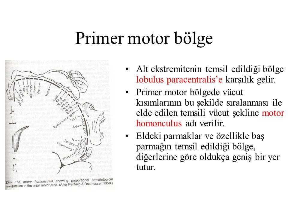 Primer motor bölge Alt ekstremitenin temsil edildiği bölge lobulus paracentralis'e karşılık gelir.