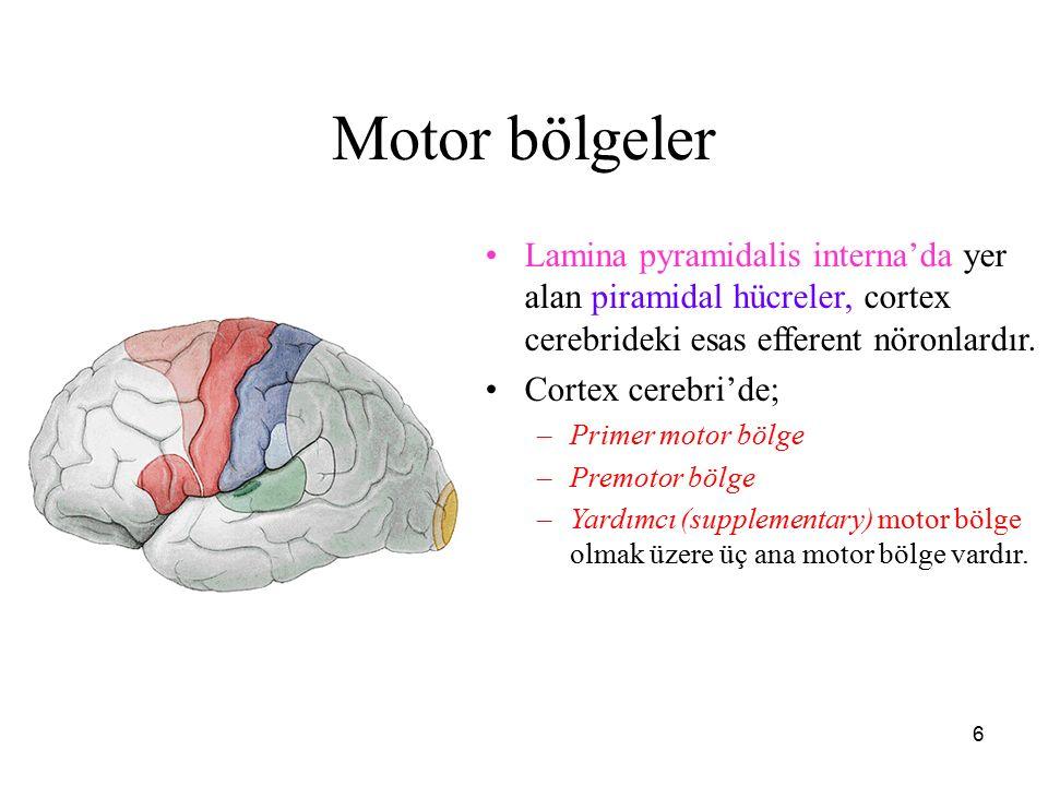 Motor bölgeler Lamina pyramidalis interna'da yer alan piramidal hücreler, cortex cerebrideki esas efferent nöronlardır.