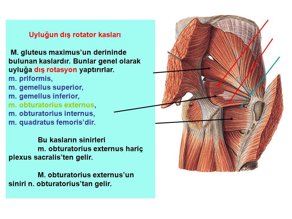 Uyluğun dış rotator kasları