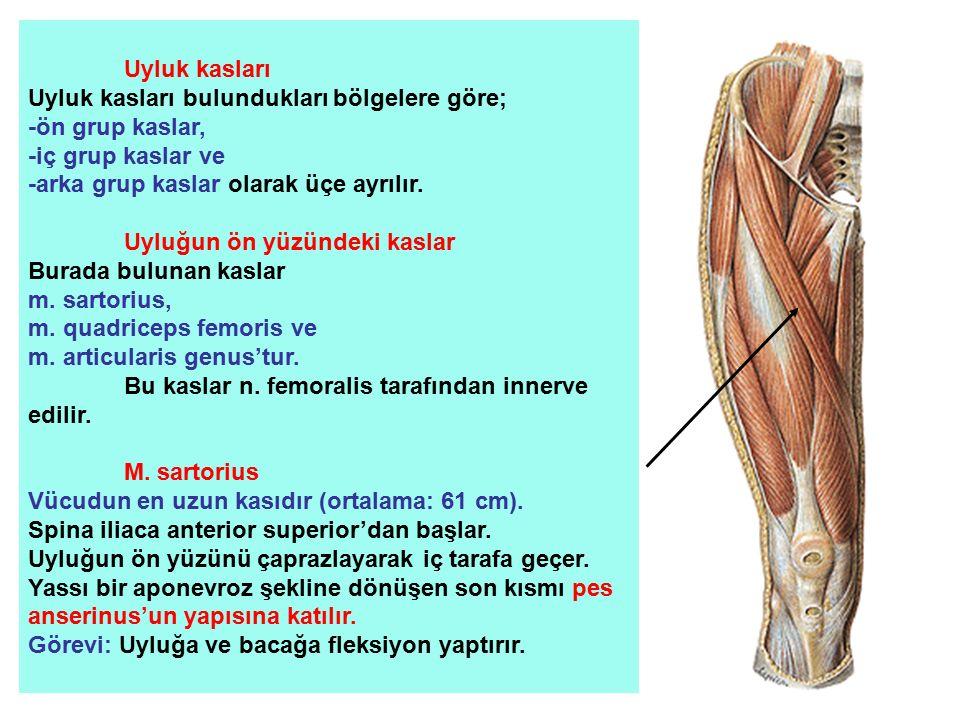 Uyluk kasları Uyluk kasları bulundukları bölgelere göre; -ön grup kaslar, -iç grup kaslar ve. -arka grup kaslar olarak üçe ayrılır.
