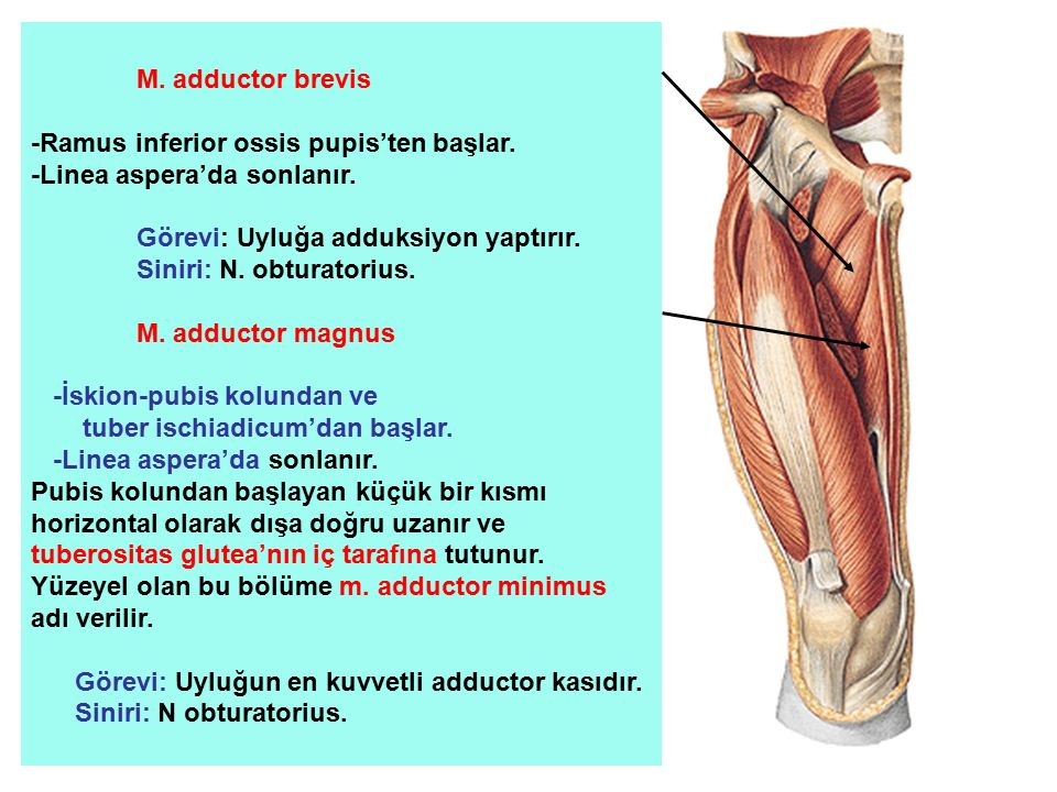 M. adductor brevis -Ramus inferior ossis pupis'ten başlar.