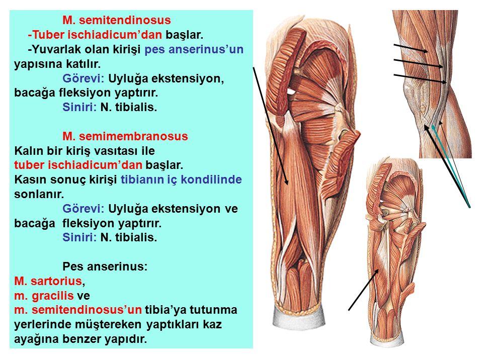 M. semitendinosus -Tuber ischiadicum'dan başlar. -Yuvarlak olan kirişi pes anserinus'un yapısına katılır.