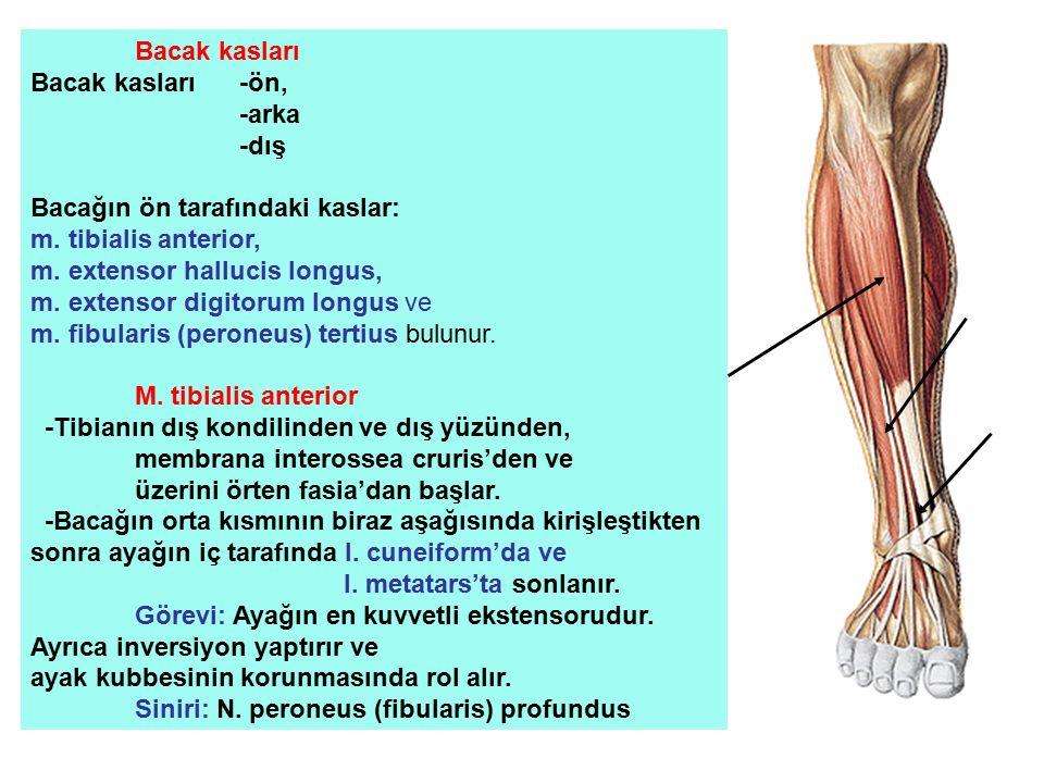 Bacak kasları Bacak kasları -ön, -arka. -dış. Bacağın ön tarafındaki kaslar: m. tibialis anterior,