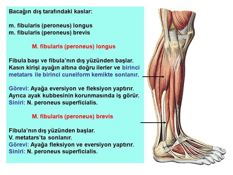 Bacağın dış tarafındaki kaslar: