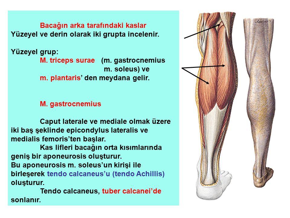 Bacağın arka tarafındaki kaslar