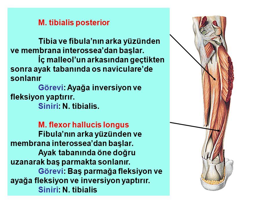 Tibia ve fibula'nın arka yüzünden ve membrana interossea'dan başlar.