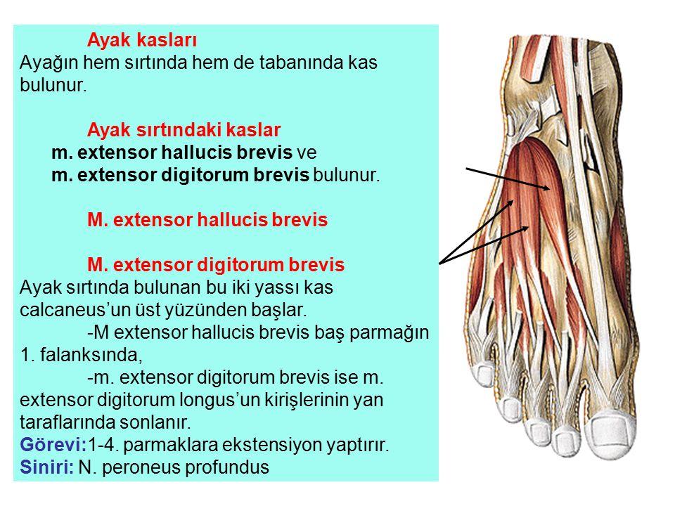 Ayağın hem sırtında hem de tabanında kas bulunur.