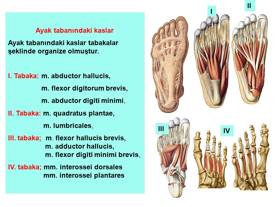 II I. Ayak tabanındaki kaslar. Ayak tabanındaki kaslar tabakalar şeklinde organize olmuştur. I. Tabaka: m. abductor hallucis,