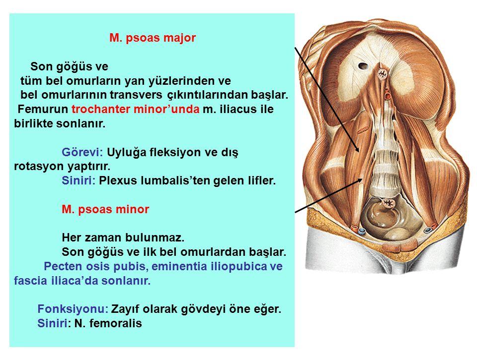 M. psoas major Son göğüs ve. tüm bel omurların yan yüzlerinden ve. bel omurlarının transvers çıkıntılarından başlar.