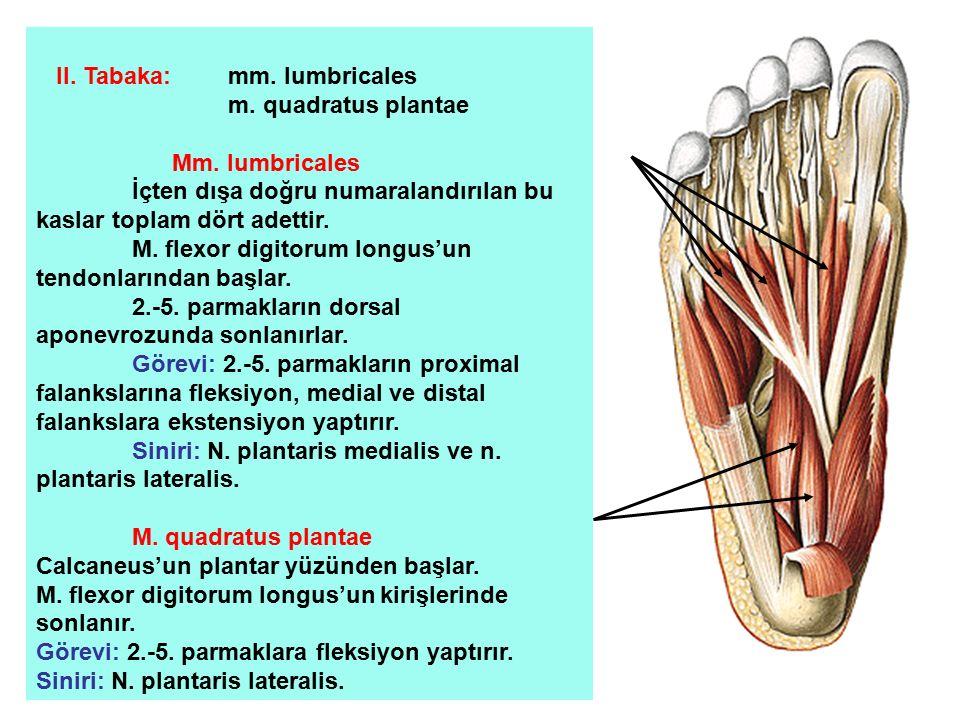 II. Tabaka: mm. lumbricales