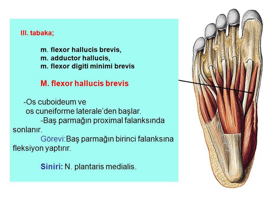 os cuneiforme laterale'den başlar.