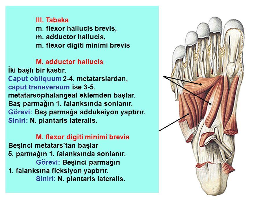 III. Tabaka m. flexor hallucis brevis, m. adductor hallucis, m. flexor digiti minimi brevis. M. adductor hallucis.