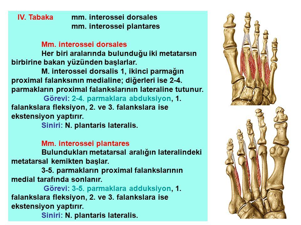 IV. Tabaka mm. interossei dorsales