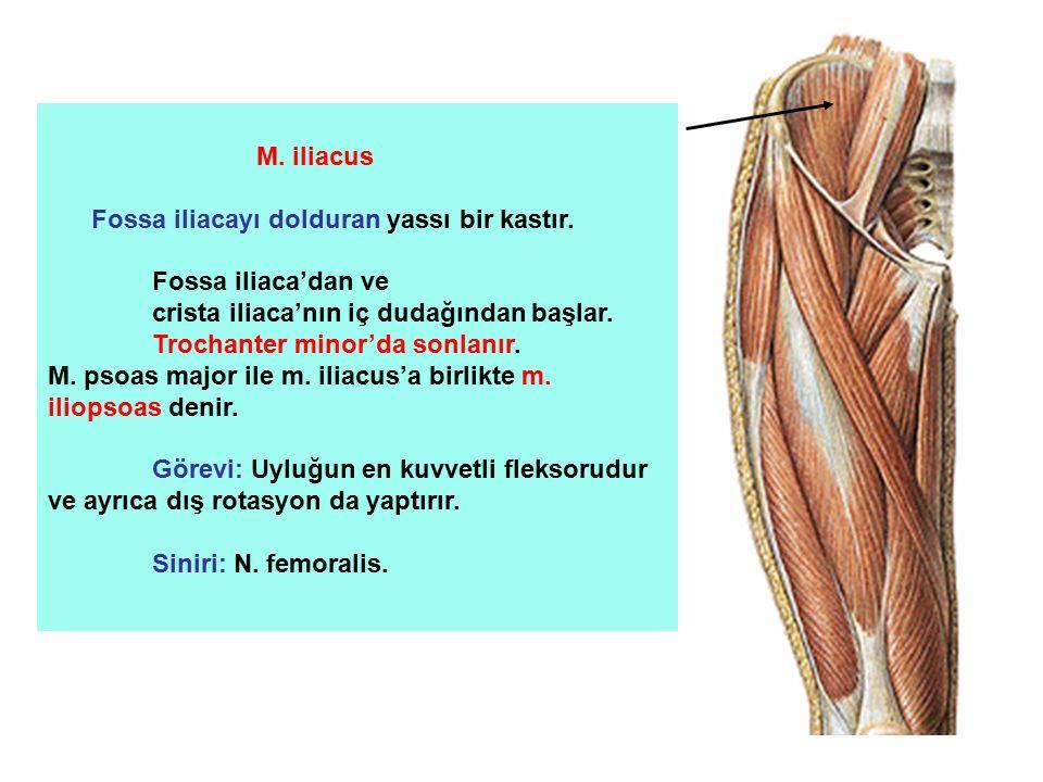 M. iliacus Fossa iliacayı dolduran yassı bir kastır. Fossa iliaca'dan ve. crista iliaca'nın iç dudağından başlar.