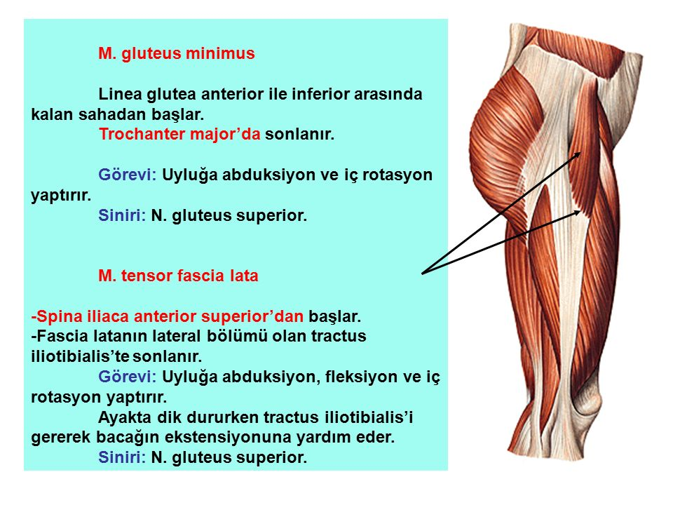M. gluteus minimus Linea glutea anterior ile inferior arasında kalan sahadan başlar. Trochanter major'da sonlanır.