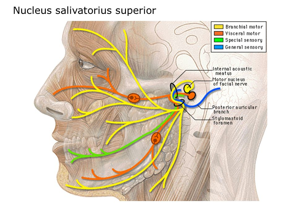 Nucleus salivatorius superior