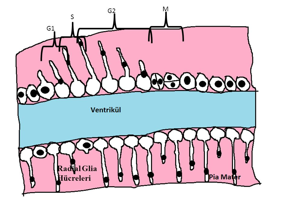 M G2 S G1 Radial Glia Hücreleri