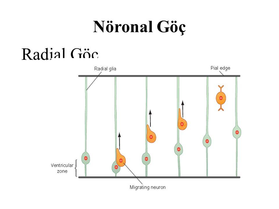Nöronal Göç Radial Göç