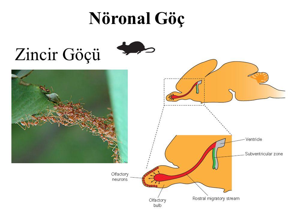 Nöronal Göç Zincir Göçü