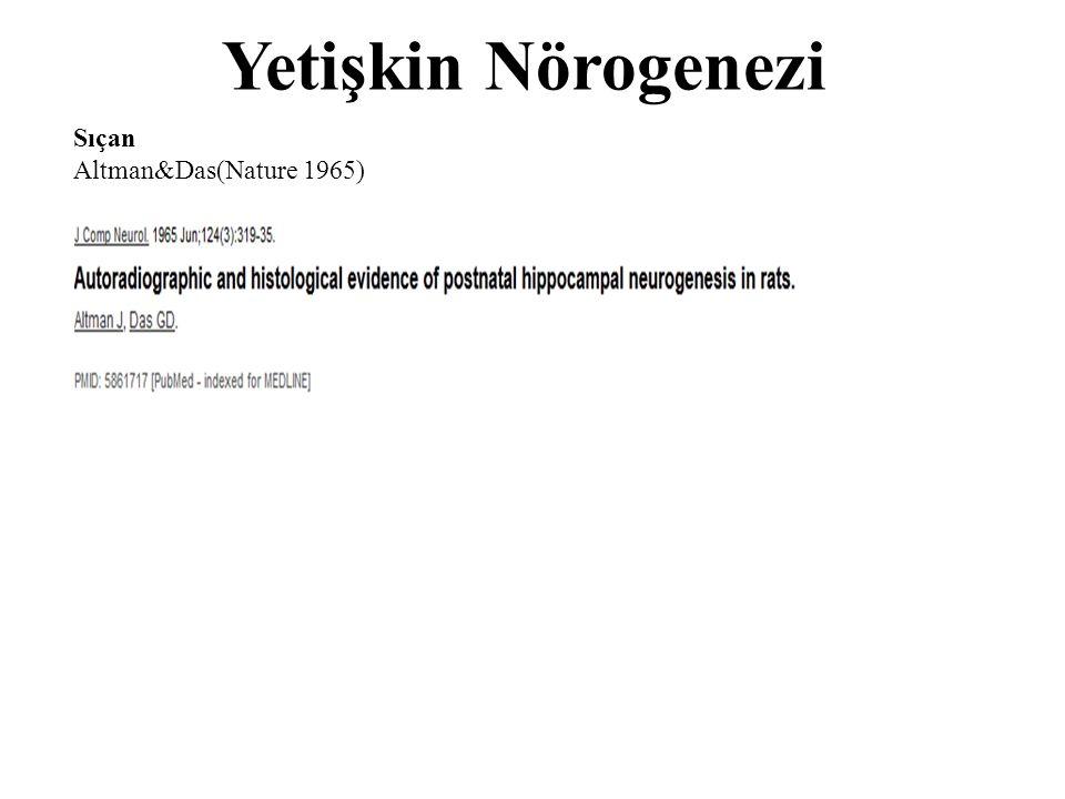 Yetişkin Nörogenezi Sıçan Altman&Das(Nature 1965)