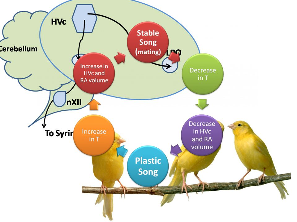 Kuşlar Nottenbohm F. (1989 Sci. Am.)