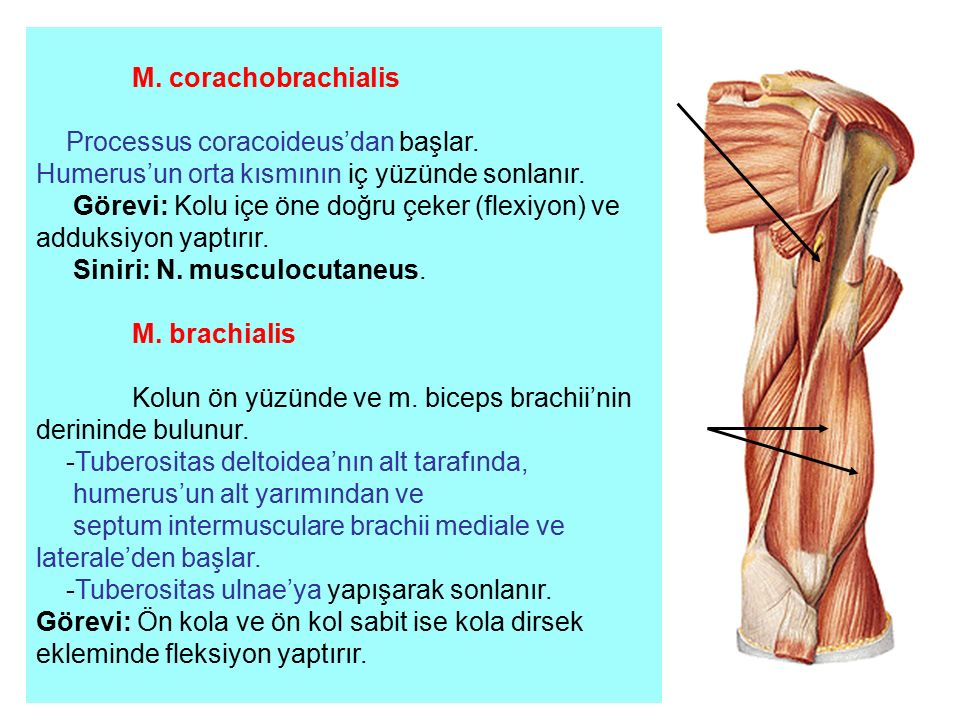 Processus coracoideus'dan başlar.