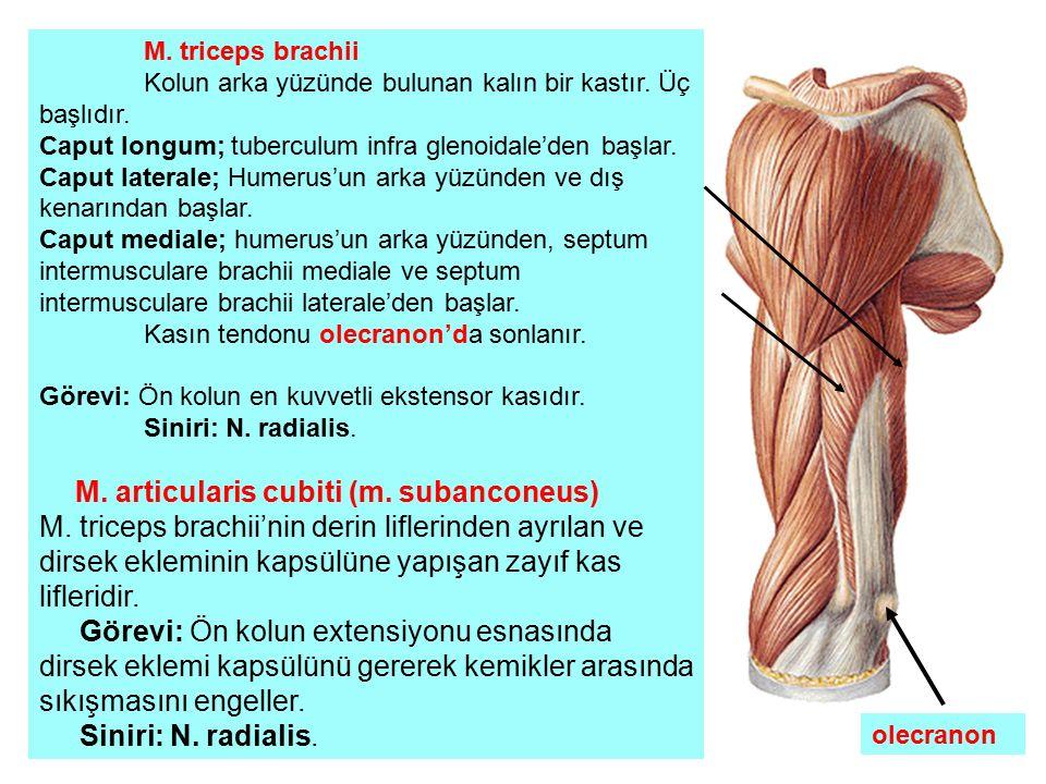 M. triceps brachii Kolun arka yüzünde bulunan kalın bir kastır. Üç başlıdır. Caput longum; tuberculum infra glenoidale'den başlar.