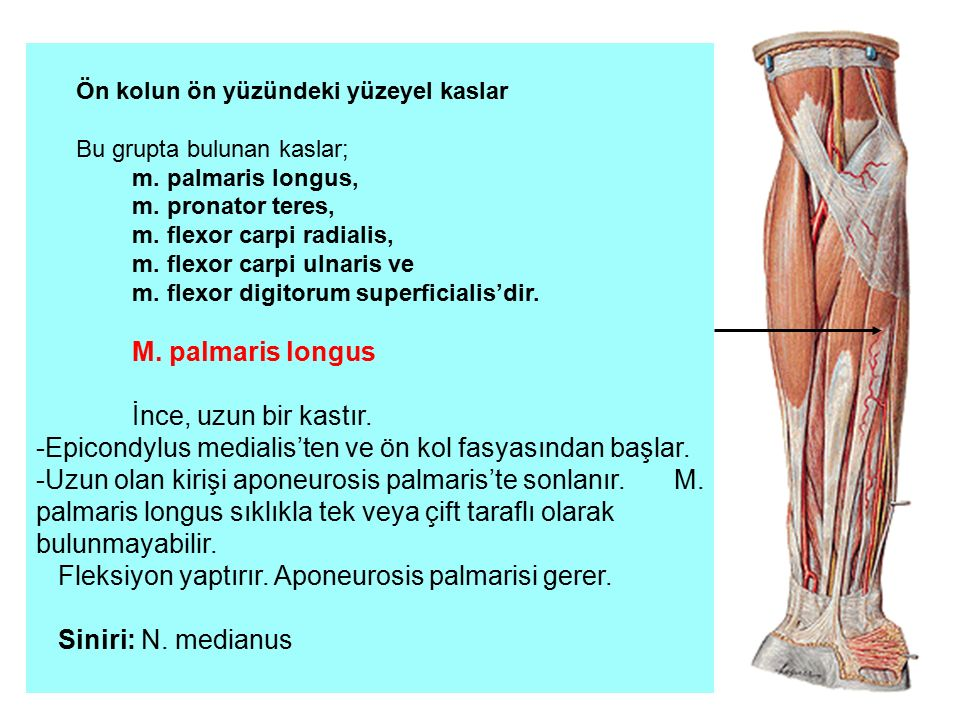 -Epicondylus medialis'ten ve ön kol fasyasından başlar.