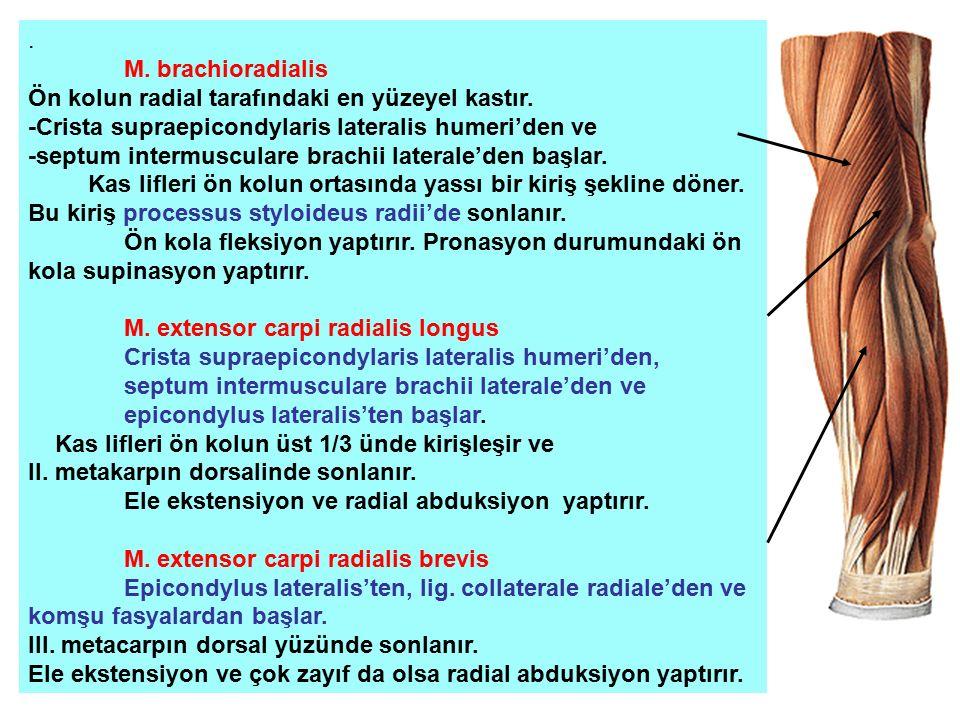 . M. brachioradialis. Ön kolun radial tarafındaki en yüzeyel kastır. -Crista supraepicondylaris lateralis humeri'den ve.