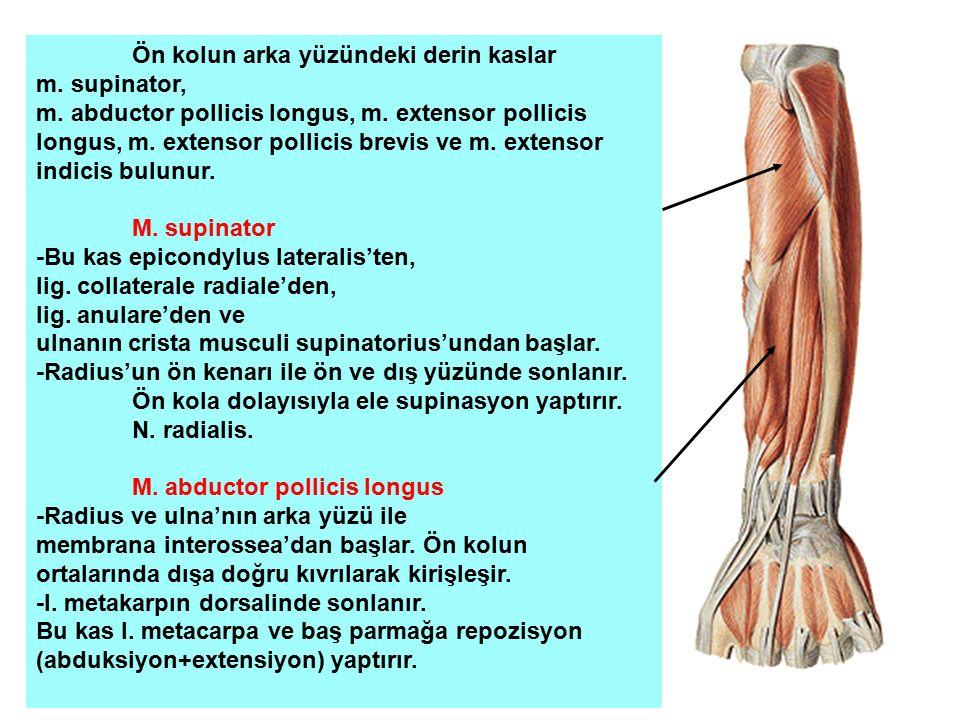 Ön kolun arka yüzündeki derin kaslar