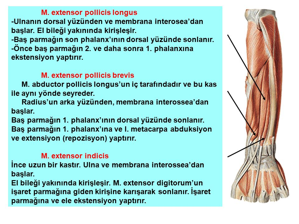 M. extensor pollicis longus
