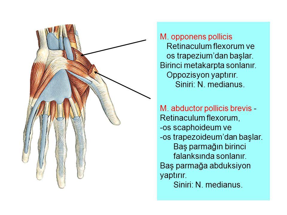 M. opponens pollicis Retinaculum flexorum ve. os trapezium'dan başlar. Birinci metakarpta sonlanır.