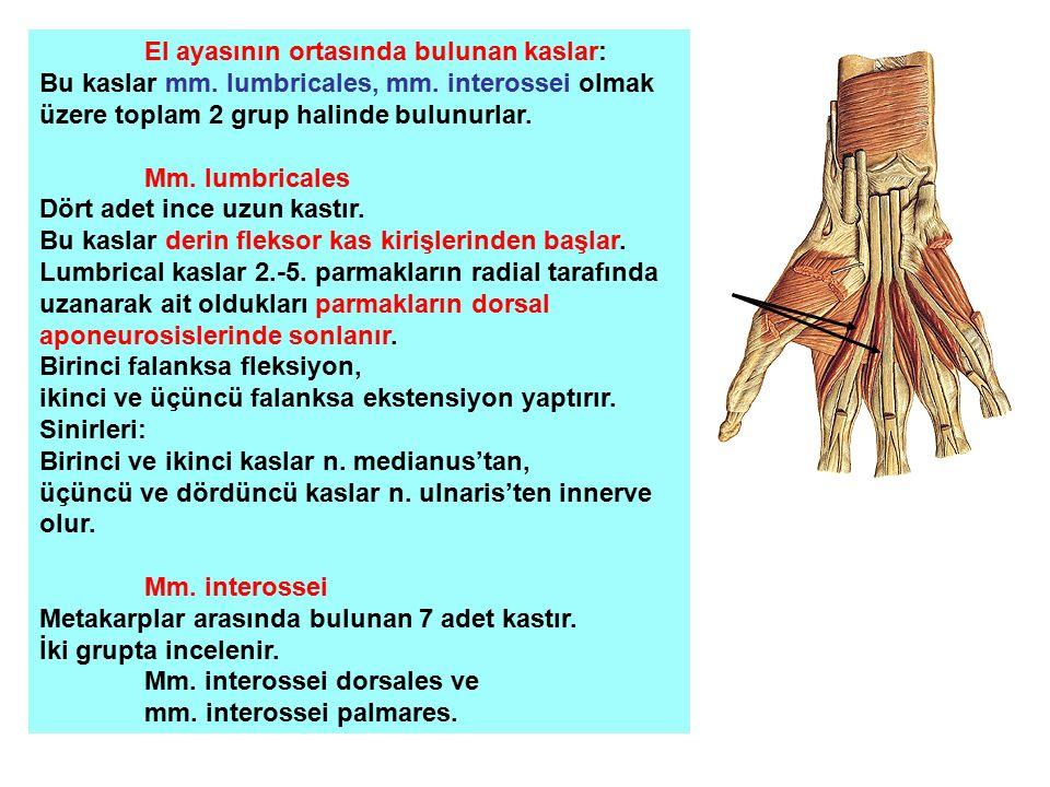 El ayasının ortasında bulunan kaslar: