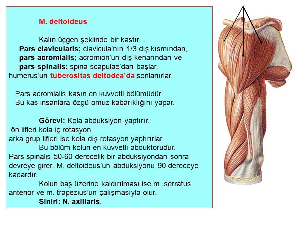M. deltoideus Kalın üçgen şeklinde bir kastır. . Pars clavicularis; clavicula'nın 1/3 dış kısmından,