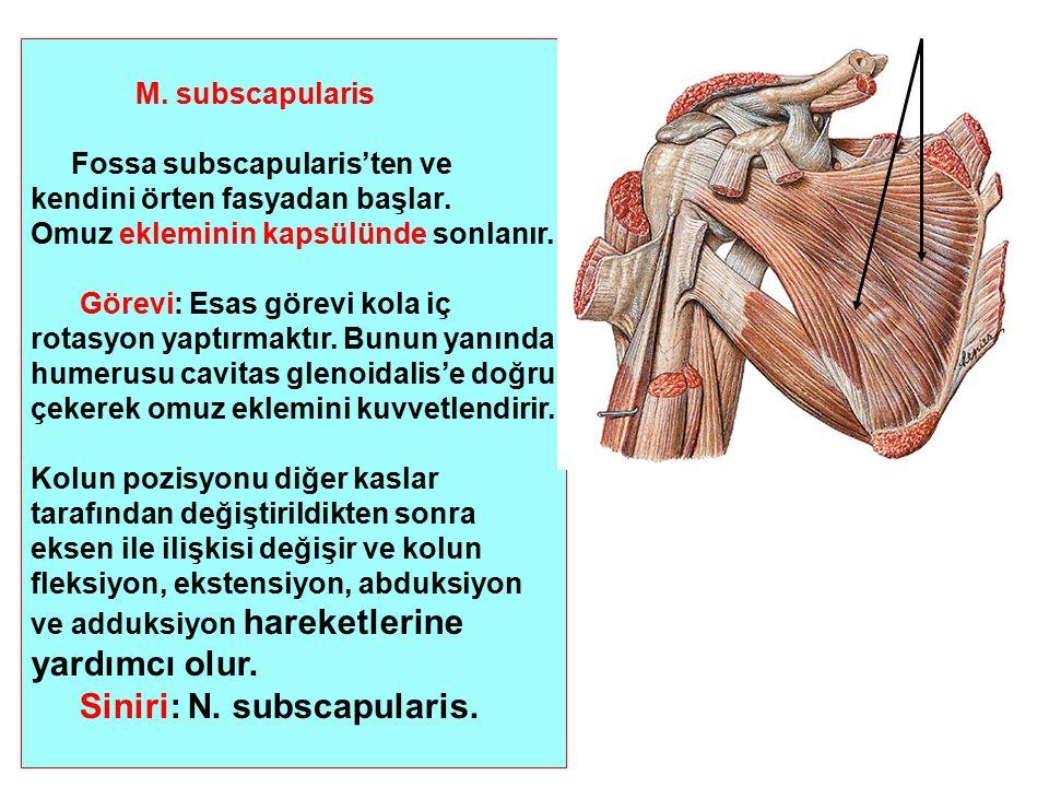 Siniri: N. subscapularis.