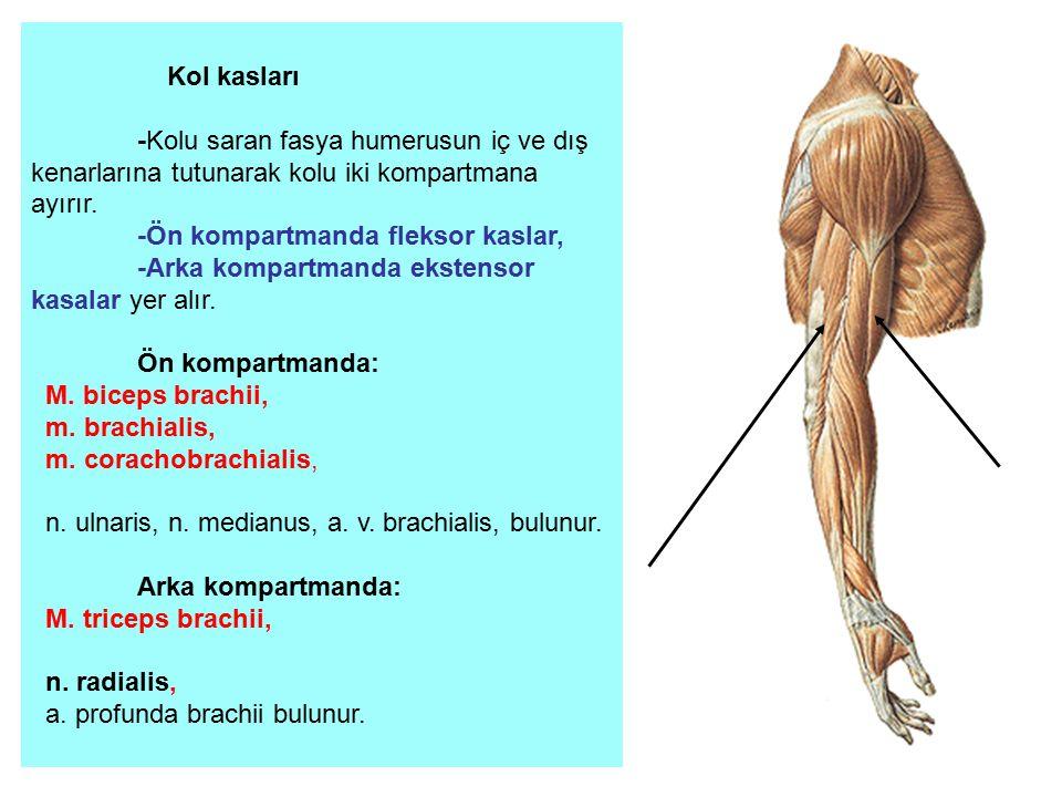 Kol kasları -Kolu saran fasya humerusun iç ve dış kenarlarına tutunarak kolu iki kompartmana ayırır.