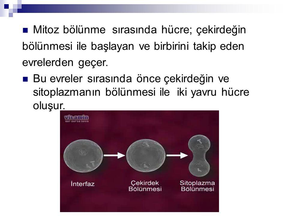 Mitoz bölünme sırasında hücre; çekirdeğin