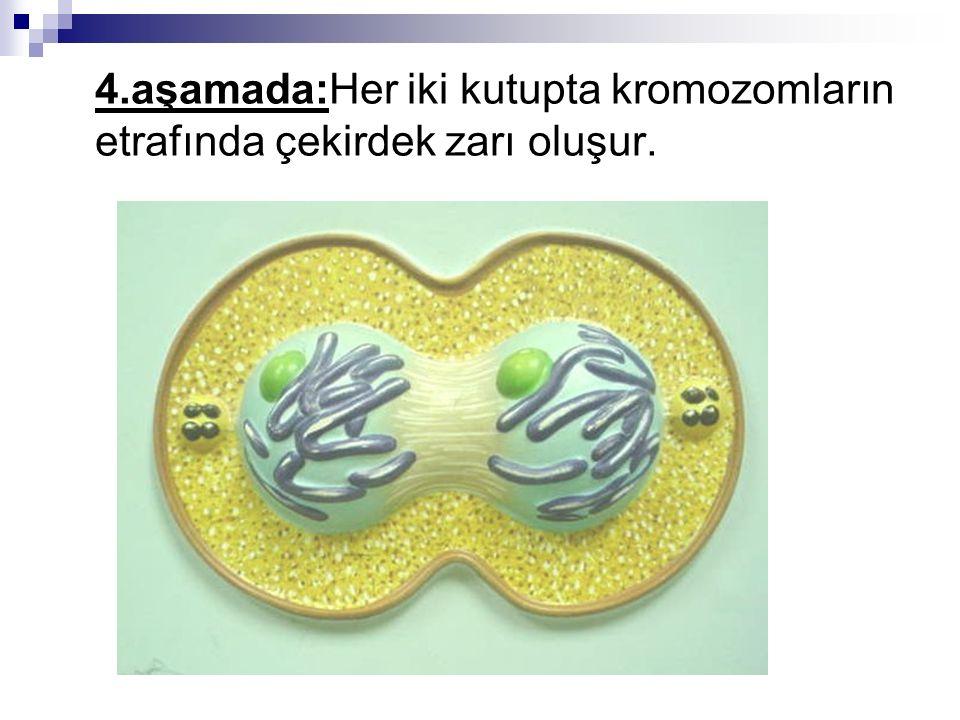 4.aşamada:Her iki kutupta kromozomların etrafında çekirdek zarı oluşur.