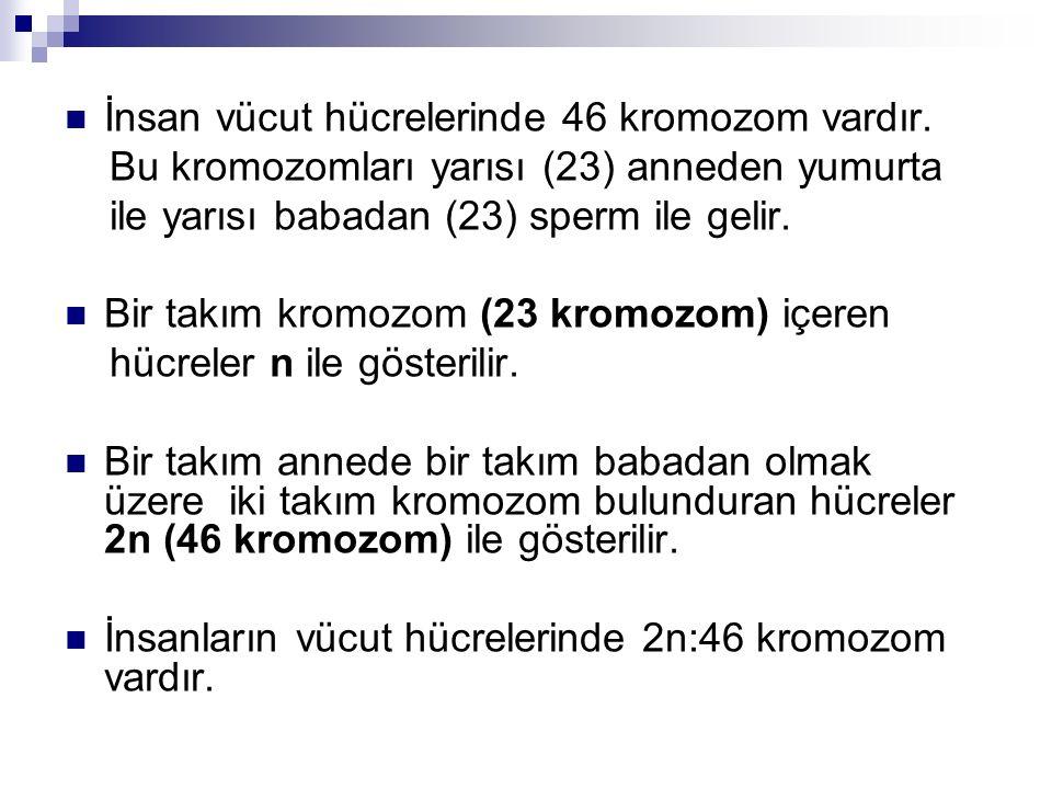 İnsan vücut hücrelerinde 46 kromozom vardır.