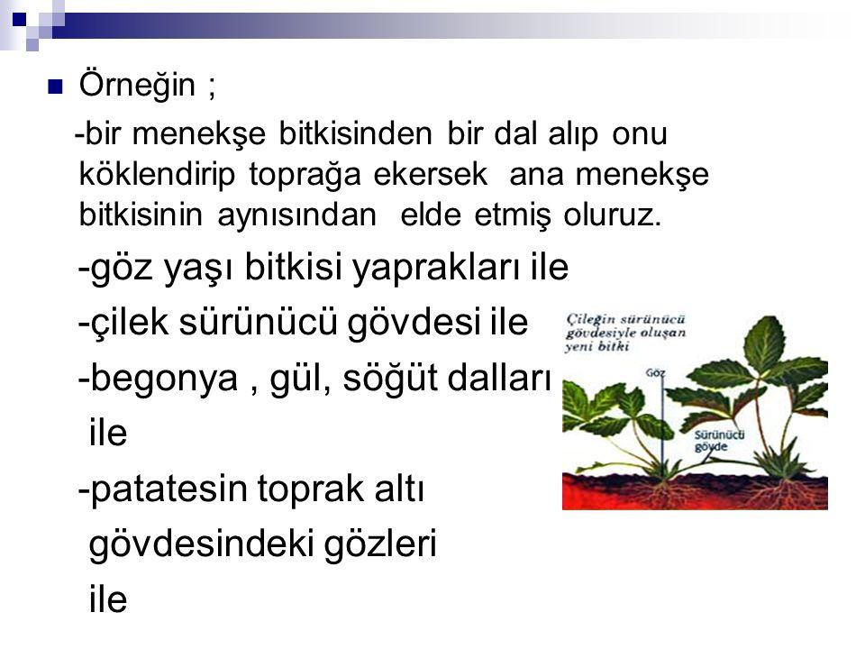 -göz yaşı bitkisi yaprakları ile -çilek sürünücü gövdesi ile