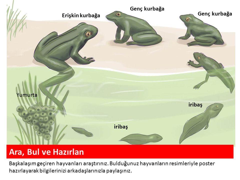 Ara, Bul ve Hazırlan Genç kurbağa Genç kurbağa Erişkin kurbağa Yumurta