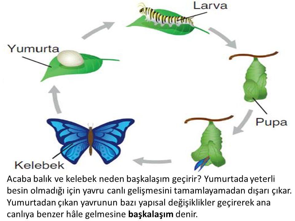 Acaba balık ve kelebek neden başkalaşım geçirir