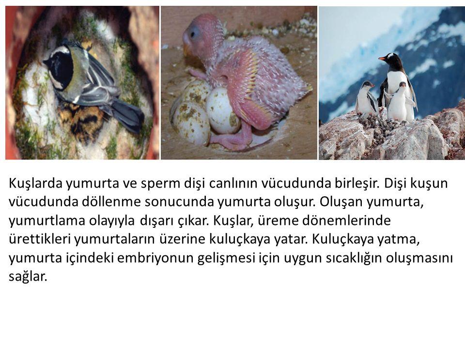 Kuşlarda yumurta ve sperm dişi canlının vücudunda birleşir