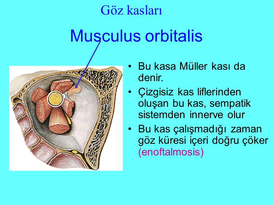 Musculus orbitalis Göz kasları Bu kasa Müller kası da denir.
