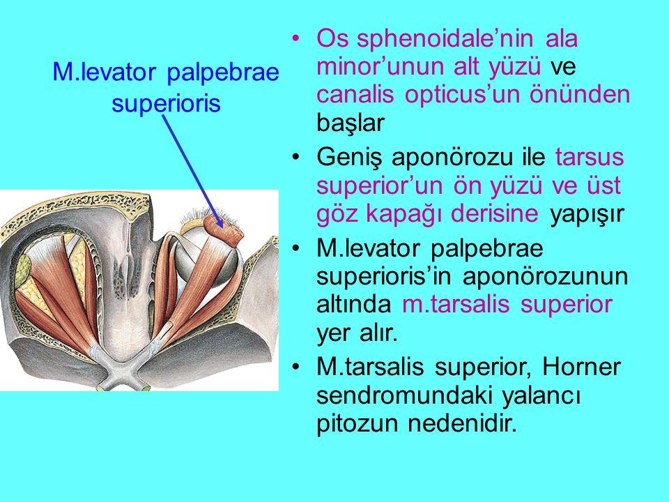 M.levator palpebrae superioris