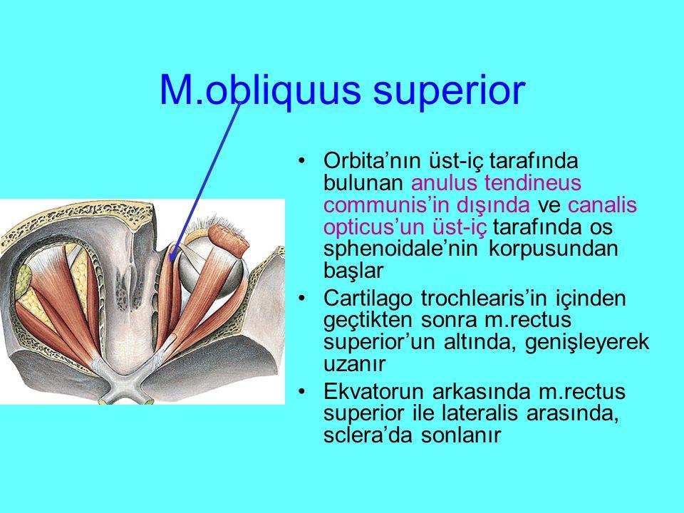 M.obliquus superior