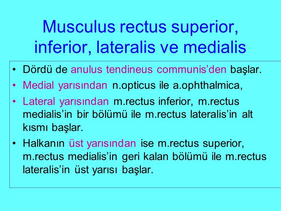 Musculus rectus superior, inferior, lateralis ve medialis