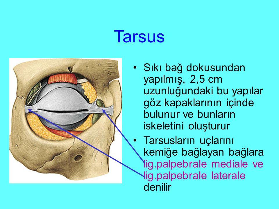 Tarsus Sıkı bağ dokusundan yapılmış, 2,5 cm uzunluğundaki bu yapılar göz kapaklarının içinde bulunur ve bunların iskeletini oluşturur.